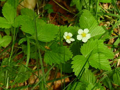 Photo of Wild Strawberry - Fragaria vesca