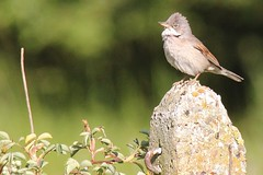 Photo of Alvescot , Oxfordshire birdlife .