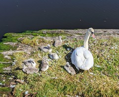 Photo of The Swans and their Cygnets, Leith Docks, May 2020