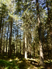 Photo of Scots Pine & Norway Spruce woodland