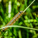 Ringelspinner (Malacosoma neustria)