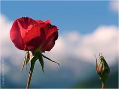 Roses dans les nuages