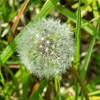 IMG_0009  dandilion seedhead