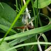 IMG_0003  Scarce chaser Dragofly