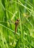 IMG_0022  Scarce chaser Dragofly