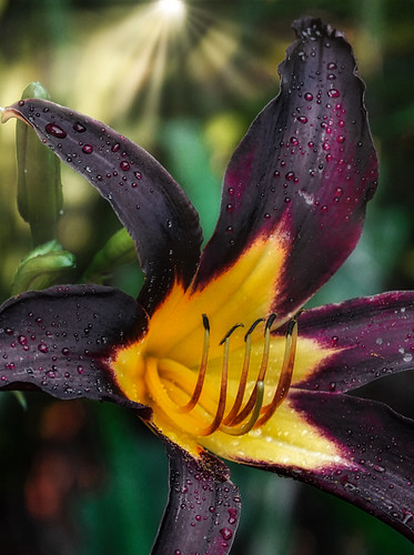 Daylilies of Lust and Sex