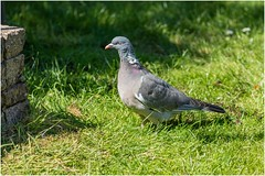 Photo of Another Pigeon