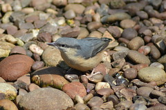 Photo of Nuthatch - Poynton, Cheshire