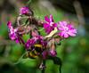 Bee on campion