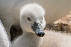 Photo of Cygnet with Egg Tooth 502_6861.jpg