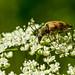 Gefleckter Blütenbock (Pachytodes cerambyciformis)