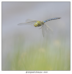 Photo of Dragon in the grass - Emperor Dragonfly