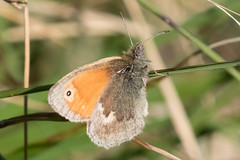 Photo of Small Heath Butterfly