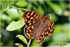 Speckled Wood Butterfly, Campoverde, Spain