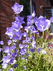 Campanula in my Willen garden 28May20