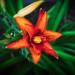 Daylily Morning Bloom