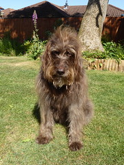 Photo of Whispa, my Labradoodle taking it easy in my Willen garden 28May20