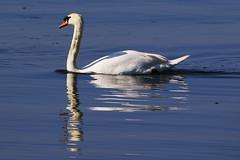 Photo of Swan at Hillhead Marina, Hampshire