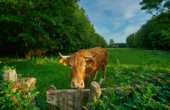 Lelystad - Larservaartbos - curious brown cow