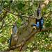 Blue-Winged Kookaburra pair (Dacelo leachii leachii)(male on right) - Fogg Dam Conservation Reserve, Middle Point, Northern Territory, Australia