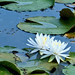 Water Lily Festival
