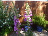 Foxgloves in my Willen Garden 28May20
