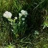 Hoary Cress : Cardaria draba