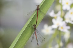 Photo of Large Red Damselfly