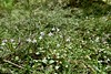 Twinflower : Linnaea borealis