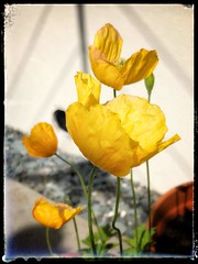 Photo of Welsh Poppies