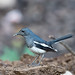 Female Magpie Robin