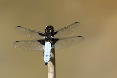 Photo of Broad-bodied Chaser