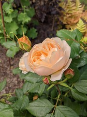 Photo of David Austin roses