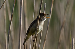 Photo of ReedWarbler