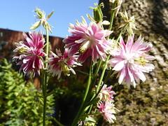 Photo of Aquilegia in my Willen garden 28May20