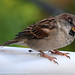 Parga Sparrow 1