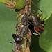 Black Locust Treehopper - Vanduzea arquata and Ferruginous Carpenter Ant - Camponotus chromaiodes, Leesylvania State Park, Woodbridge, Virginia