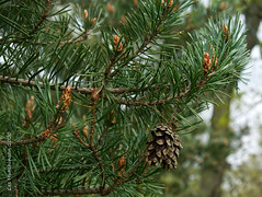 Photo of 2020 05 03 - pine cones old and new