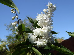Photo of Nice flowering shrub in my Willen garden 28May20