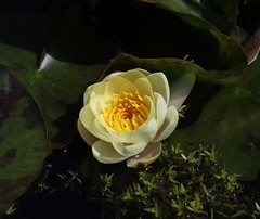 Photo of Yellow Water Lily - Nag's Head Cottage