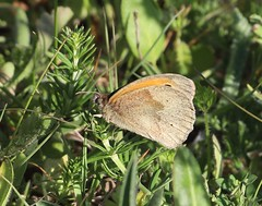 Photo of Meadow Brown - Pinkneys Green