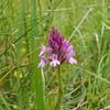 Pyramid Orchid, Kenley Common (Anacamptis pyramidalis)