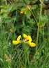 Birds-Foot Trefoil, Kenley Common (Lotus corniculatus)