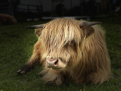 Photo of Highland coo relaxing IMG_1801
