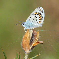 Photo of Silver Studded Blue at Pirbright
