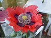 A poppy in my Willen garden 30May20