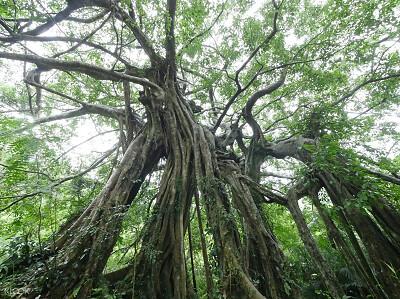 (圖11)氣根滿佈一樹成林的百年大白榕是知本國家森林遊樂區園區招牌