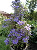 One of my Clematis plants in my Willen garden 30May20