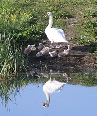 Photo of Weaster Inch Swans 2020