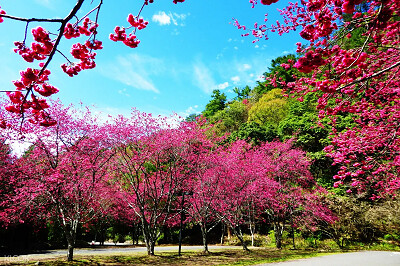 (圖8)奧萬大除了楓葉外還有美麗的櫻花,不用飛到日本也可以賞櫻